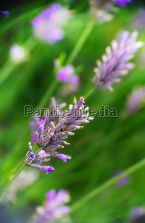 ear a lavender flower in closeup