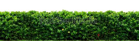 shrub fence