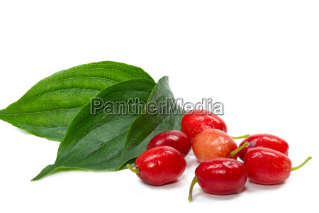 berries and leaves of cornus cornus
