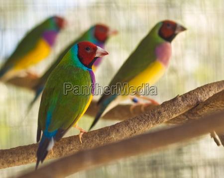 australian gouldian finch native birds of