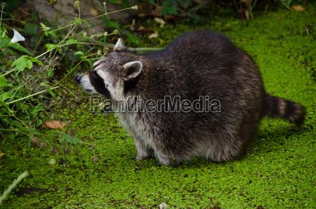 racoon procyon lotor