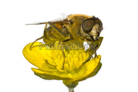 bee on yellow flower in extreme