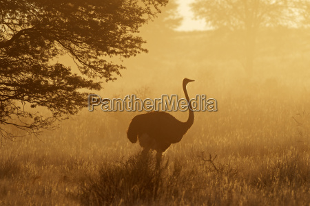 ostrich in dust