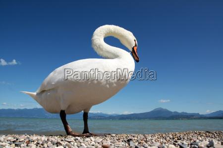mute swan very close