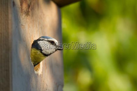 blue tit cyanistes caeruleus peeking out