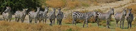 10 zebras in a row