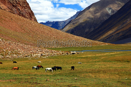 wild mustangs zanskar valley india