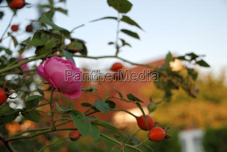 giardino piantare seminare fiore rosa fioritura