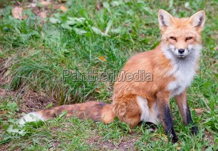 fox looking at the camera
