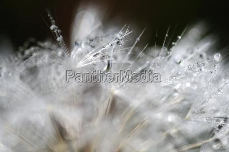pusteblume water drops