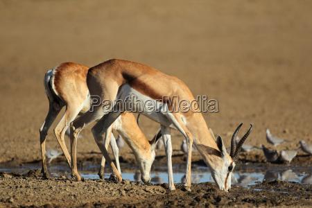 springbok antelopes drinking