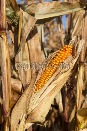 corn cob in the cornfield before