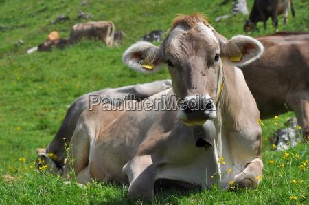 cow pasture lucomagno pass 4