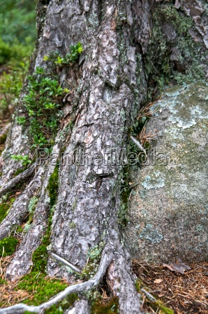 pine roots wrapped around a stone