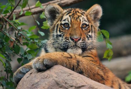 curious tigerkind
