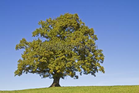 oak on meadow