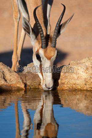 drinking springbok antelope