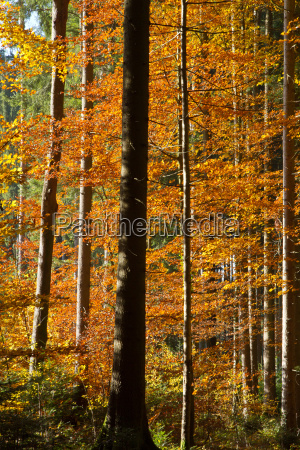 colourful autumn forest in bavaria