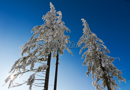 three snow capped fir trees in