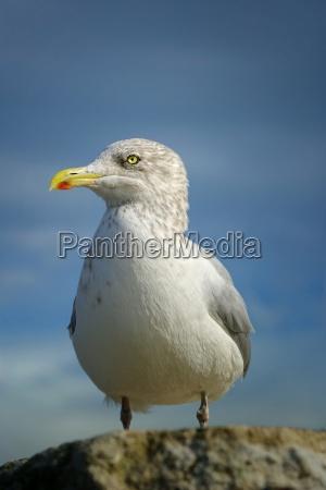 gulls portrait