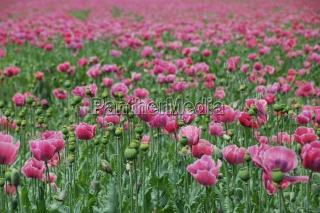 viele rosa mohnblumen
