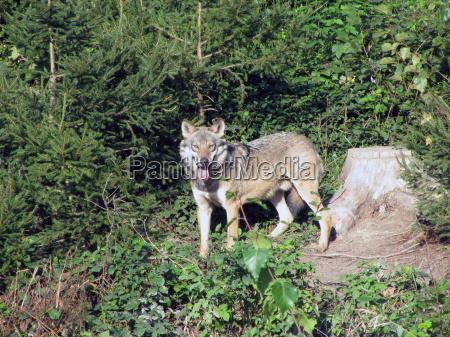 cane predatore lupo branco