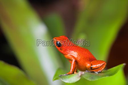 orange poison dart frog