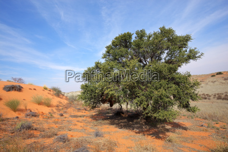 african acacia tree on dune
