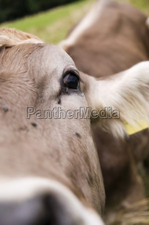 fly at the eye of cow