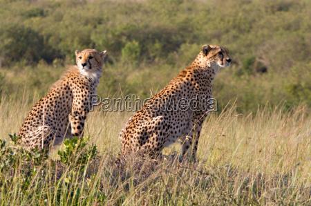 two cheetahs in masai mara national