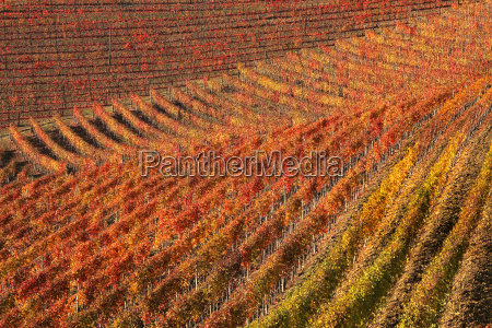 beautiful multicolored vineyards on the hills