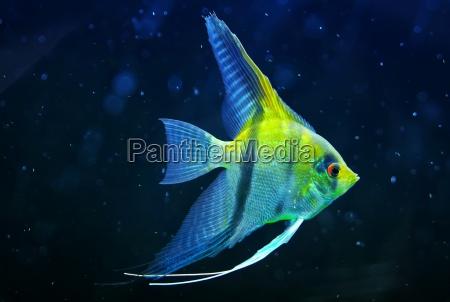 ornamental fish scalar underwater