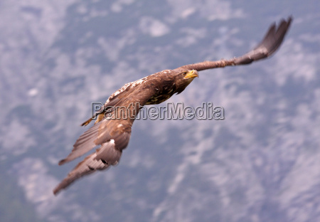golden eagle in flight in the
