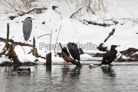 cormorants phalacrocorax carbo and grey heron