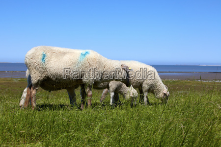 some sheep on a dike at