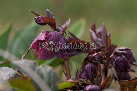 christmas rose helleborus niger hellebore schneerose