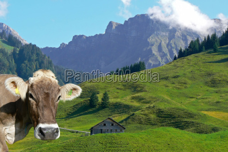 allgaeu cattle