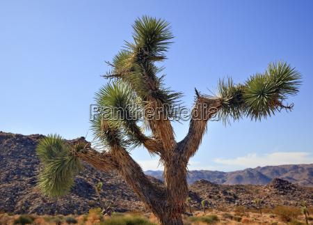 yucca brevifolia mojave desert joshua