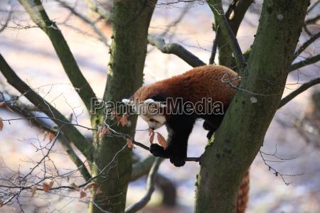 little panda bear in closeup