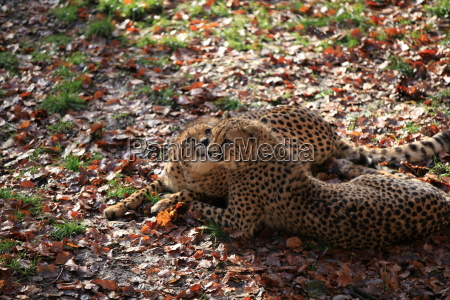 cheetah in close up