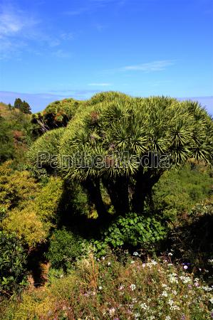 dragon tree x