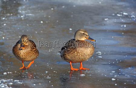 wild ducks on frozen lake