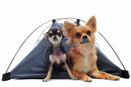 puppy and adult chihuahuas in tent