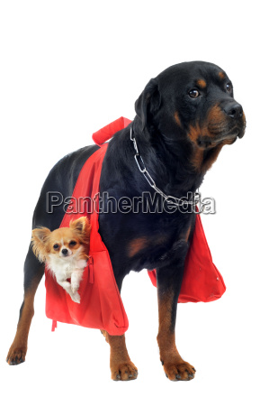 rottweiler holding a chihuahua