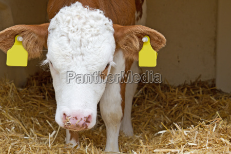 young calf in the straw