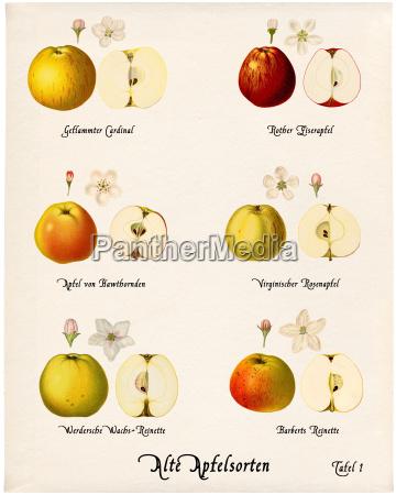 collage old apple varieties plate 1