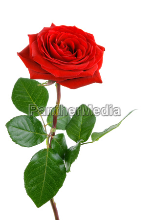 the perfect rose