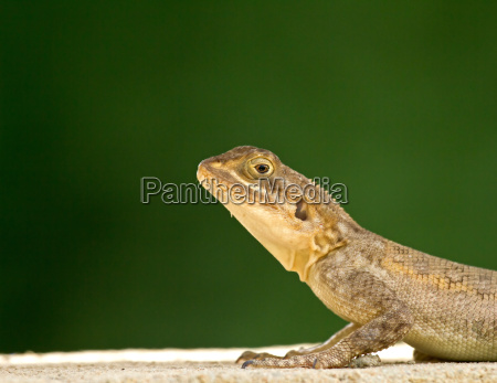 lizard head and front legs