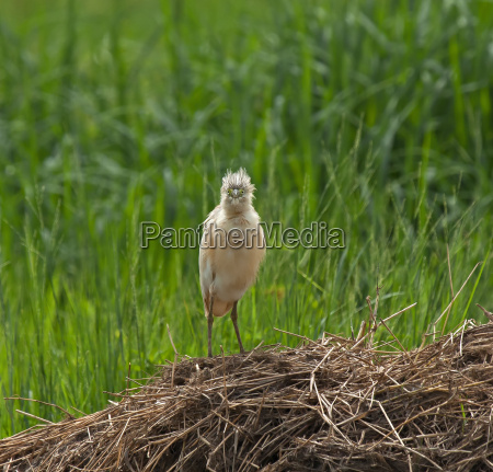 squacco heron full face