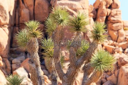 rocks yucca brevifolia mojave desert